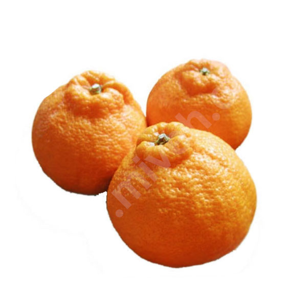 نارنگی بندری